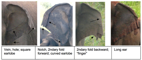 Elephant ears have a lot of characteristics that can help elephant researchers to identify individuals (pictures and text provided by Shermin de Silva).